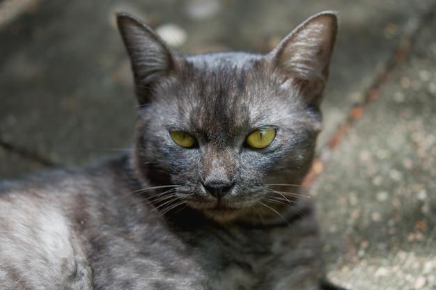 Gros plan jeune chat noir thaï Photo Premium