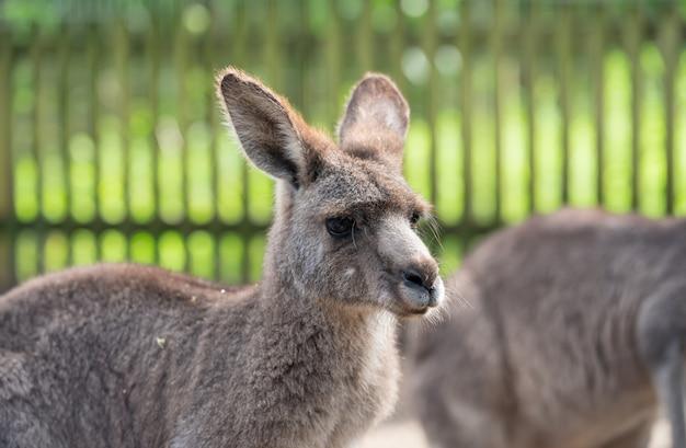 Gros plan: kangourou Photo Premium