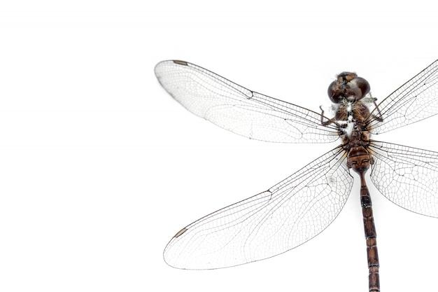 Gros plan libellule farci isolé sur fond blanc, vue de dessus Photo Premium