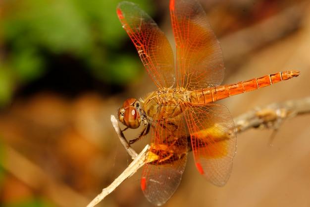 Gros plan d'une libellule orange dans un jardin en thaïlande Photo Premium