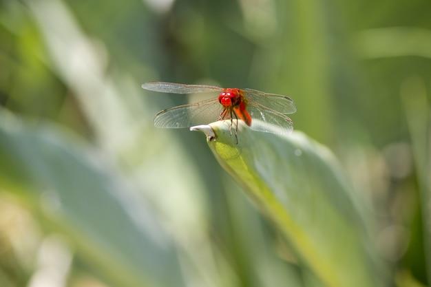 Gros Plan De Libellule Rouge Sur Plante Photo gratuit