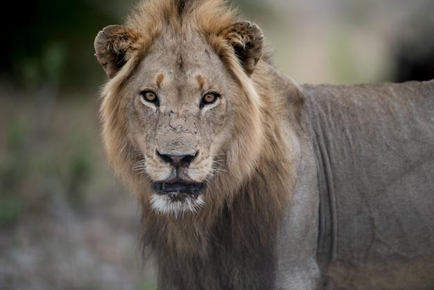Gros Plan D'un Lion Mâle Avec Un Flou Photo gratuit
