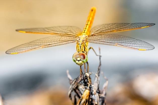 Gros plan macro libellule tenir sur une branche d'arbre Photo Premium
