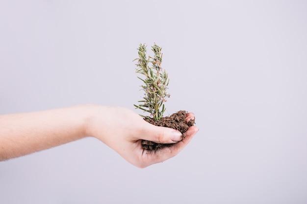 Gros plan, main, tenue, semis, fond blanc Photo gratuit