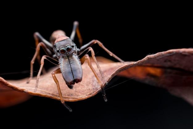 Gros plan, mâle, imiter, araignée, sur, feuille sèche Photo Premium