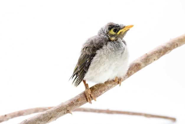 Gros Plan D'un Mineur Bruyant Bébé Sur Fond Blanc. Un Oiseau Indigène Australien. Photo gratuit