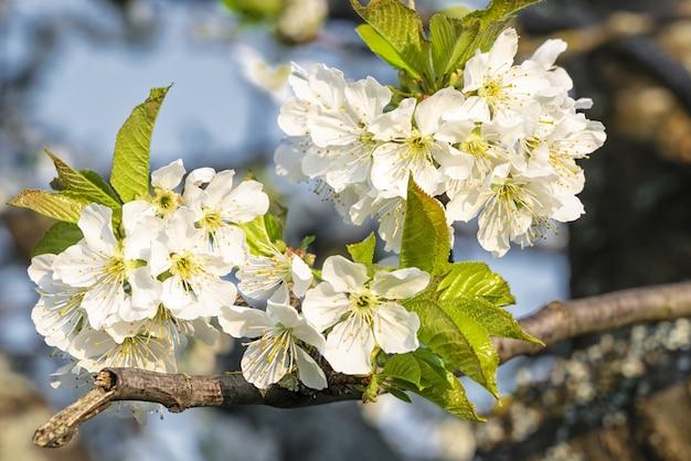 Gros Plan Mise Au Point Sélective Coup De Fleurs De Cerisier Blanc En Fleurs Sous Un Ciel Bleu Photo gratuit