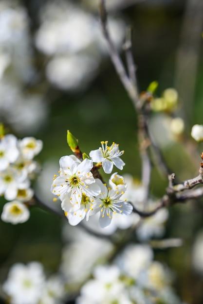 Gros Plan Mise Au Point Sélective D'une Incroyable Fleur De Cerisier Sous Les Rayons Du Soleil Photo gratuit