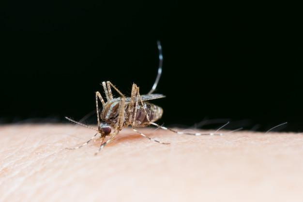 Gros plan, moustique, sucer, sang, sur, peau humaine Photo Premium