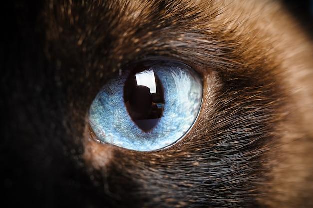 Gros plan d'un oeil de chat siamois Photo Premium