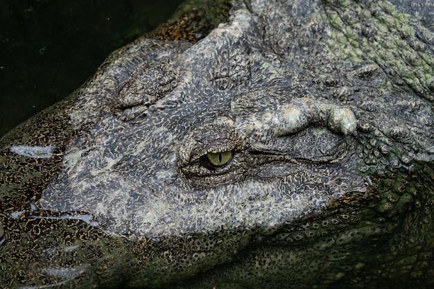 Gros plan, oeil crocodile Photo Premium