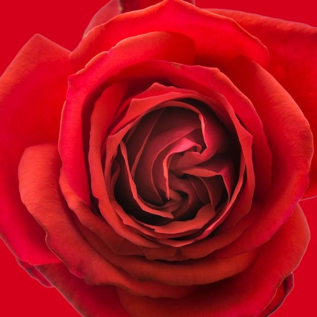 Gros Plan Des Pétales Artistiques De Rose Rouge Photo gratuit