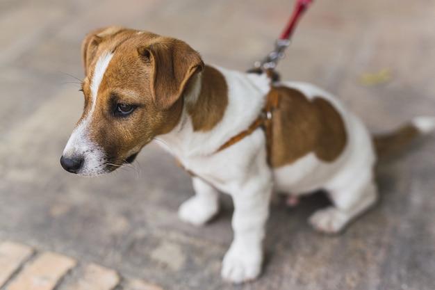 Gros Plan D'un Petit Jack Russell Terrier En Laisse Rouge Sous La Lumière Du Soleil Photo gratuit