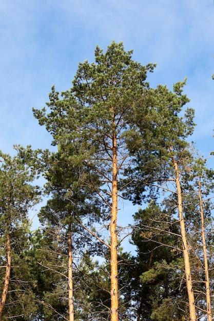 Gros Plan Photographié De La Cime Des Pins Qui Poussent Dans La Forêt Photo Premium