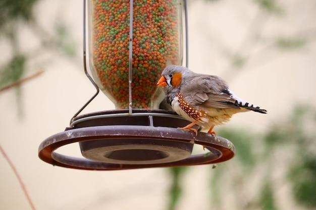 Gros Plan D'un Pinson Perché Sur Une Mangeoire à Oiseaux Photo gratuit