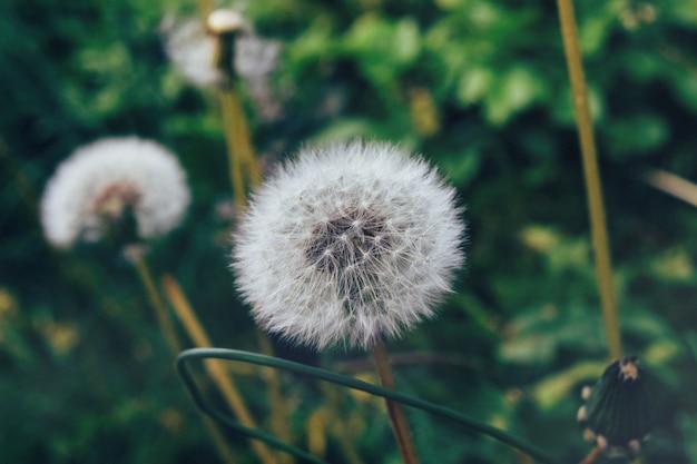 Gros Plan De Pissenlits Entouré De Verdure Dans Un Jardin Photo gratuit