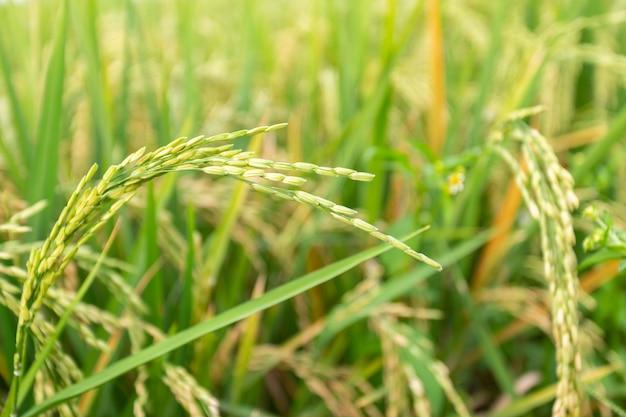 Gros plan d'une plante de riz paddy. Photo gratuit