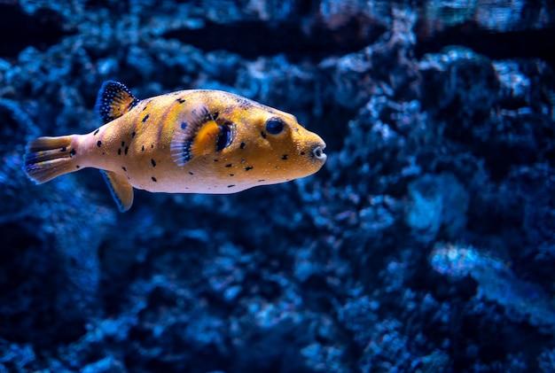 Gros Plan D'un Poisson De Récif Corallien Nageant Dans Un Aquarium Sous Les Lumières Avec Un Arrière-plan Flou Photo gratuit