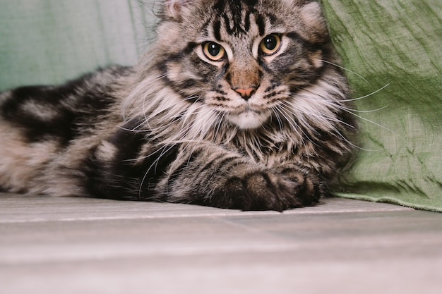 Gros plan, portrait, grand, moelleux, maine, coon, chat, coucher plancher Photo Premium