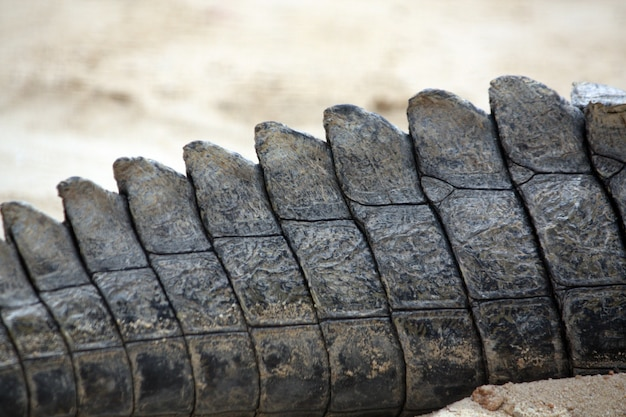 Gros plan sur la queue d'un crocodile. Photo Premium