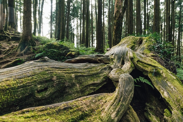 Gros Plan D'une Racine Géante De Pins Vivants Avec De La Mousse Dans La Forêt D'alishan. Photo Premium
