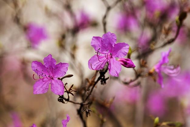 Gros Plan De Romarin Sauvage Ledum. Image De Fond De La Nature. Fleurs Violettes Belles Et Douces Photo Premium