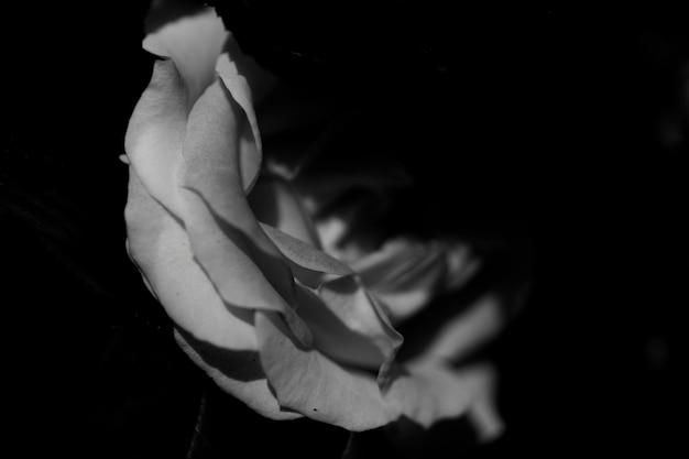 Gros Plan D'une Rose Blanche Dans Le Noir Photo gratuit