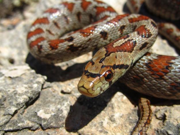 Gros Plan D'un Serpent Rat Européen Rampant Sur Un Rocher Photo gratuit