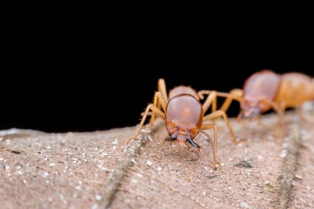 Gros plan termite soldat sur feuille séchée Photo Premium