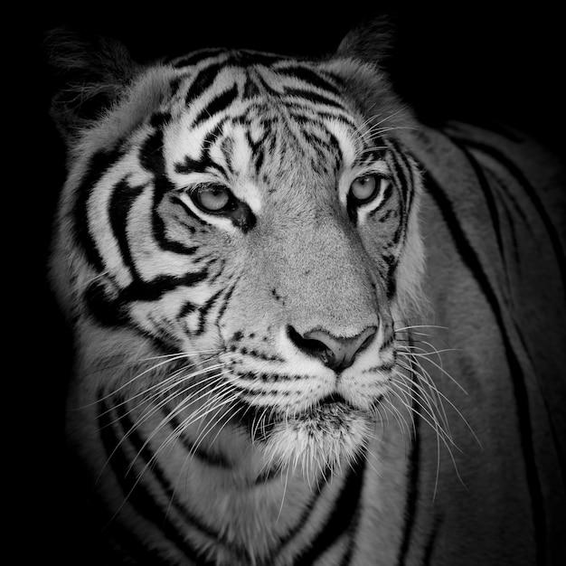 Gros plan tigre visage isolé sur fond noir Photo Premium