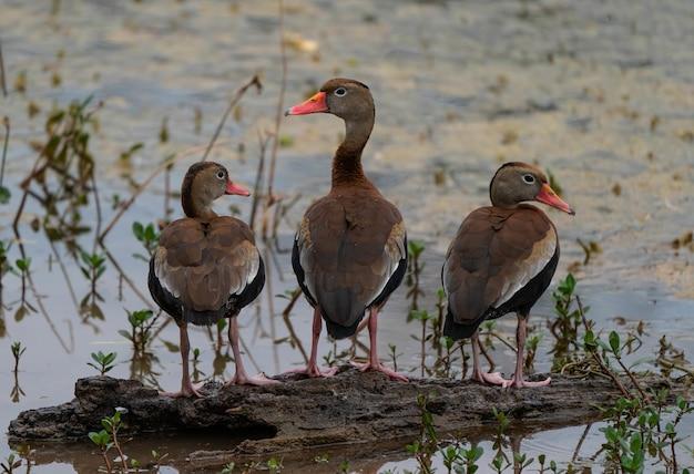 Gros Plan De Trois Canards Mignons Assis Sur Un Morceau De Bois Photo gratuit