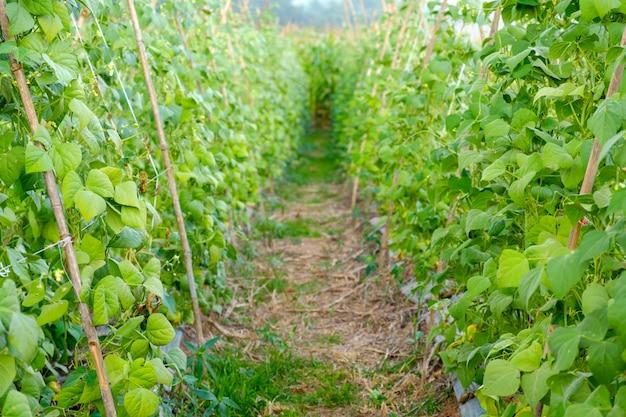 Gros Plan, Vert, Haricot, Jardin Photo Premium