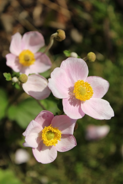 Gros Plan Vertical De Belles Fleurs D'anémone De Récolte Photo gratuit