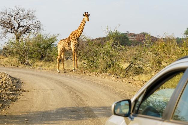 Gros Plan D'une Voiture D'argent Approchant Une Girafe Dans Le Safari Photo gratuit