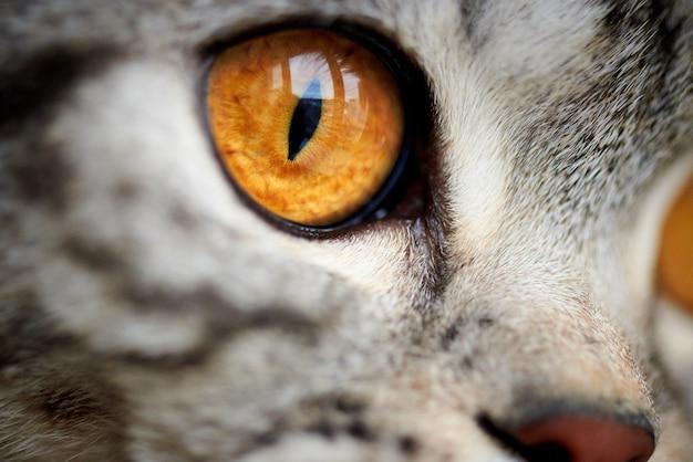 Gros plan yeux de chat jaune Photo Premium