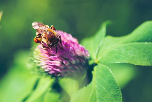 Grosse abeille trouve le nectar dans le trèfle rose Photo Premium