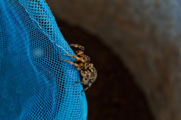 Une Grosse Tarentule Araignée Sauteuse Laide Est Assise Sur Un Filet. Photo Premium