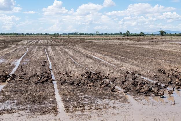 Groupe de canard dans la rizière. Photo Premium