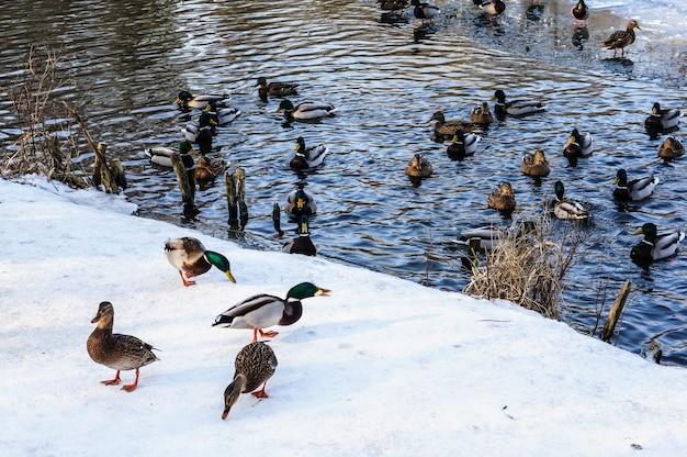 Groupe De Canards Nageant Dans L'étang En Hiver Photo gratuit