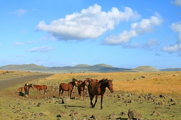 Groupe de chevaux sauvages paissant au bord de la route sur l'île de pâques, chili, amérique du sud Photo Premium