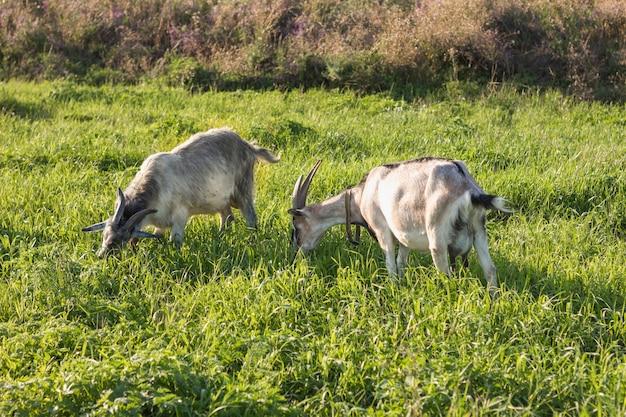 Groupe de chèvre domestique se nourrissant d'herbe Photo gratuit