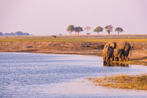 Groupe d'éléphants d'afrique buvant de l'eau de la rivière chobe au coucher du soleil. safari animalier et croisière en bateau dans le parc national de chobe, en namibie, à la frontière entre le botswana et l'afrique. Photo Premium