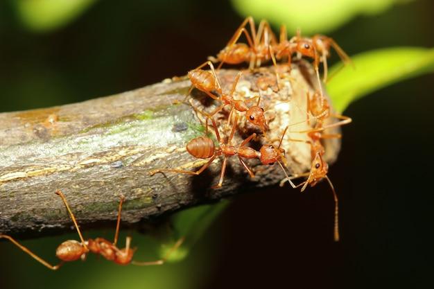 Groupe de fourmis rouges sur un arbre dans la nature à la forêt en thaïlande Photo Premium