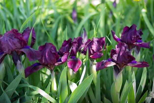 Groupe D'iris Violets Au Printemps Journée Ensoleillée Dans Le Jardin. Fond Fleur Photo Premium