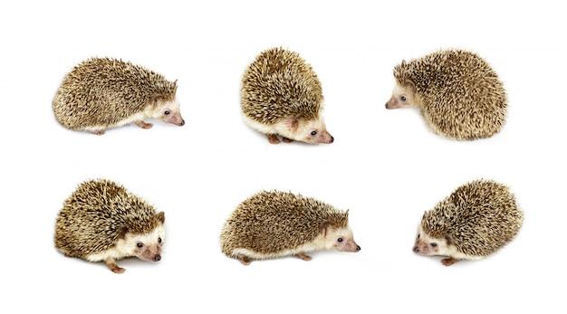Groupe de petit hérisson isolé. animaux sauvages. Photo Premium