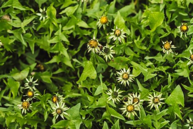 Groupe de pissenlits jaunes sur la pelouse verte Photo Premium