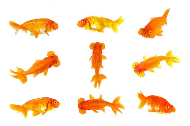 Groupe de poisson rouge et poisson rouge à bulle œil isolé. animal. animal de compagnie. Photo Premium