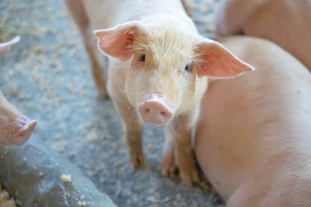 Groupe de porc qui semble en bonne santé dans l'élevage de porcs local. Photo Premium