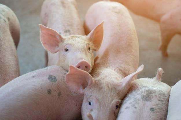 Groupe de porcs qui semble en bonne santé dans l'élevage de porcs local de l'asean. Photo Premium