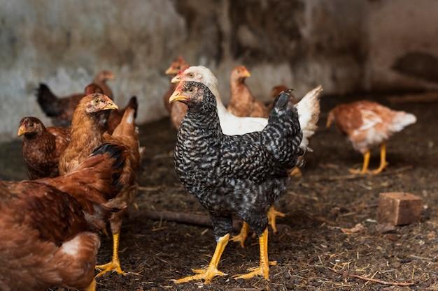 Groupe de poulets dans une cour de ferme Photo gratuit